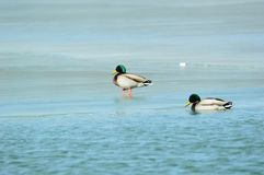 Зеленая утка в олимпийском Forest Park стоковые фото