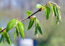 зеленая хворостина весны листьев hornbeam стоковые фотографии rf
