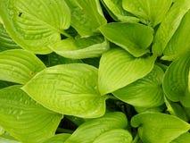 Зеленая хоста покидает предпосылка листвы Стоковое фото RF