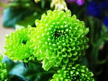 Зеленая хризантема Стоковое фото RF