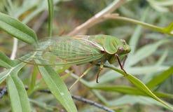 Зеленая цикада Стоковые Фотографии RF