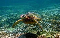 зеленая черепаха заплывания моря Гавайских островов подводная Стоковые Изображения