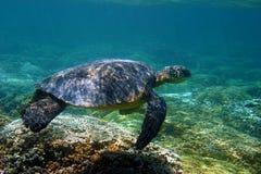 зеленая черепаха моря Гавайских островов стоковые фото