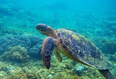 Зеленая черепаха с фото рыб подводным Крупный план морской черепахи Океанское животное в дикой природе каникула территории лета k стоковое изображение