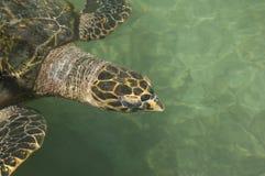 Зеленая черепаха Стоковая Фотография