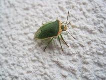 Зеленая черепашка вони стоковое изображение