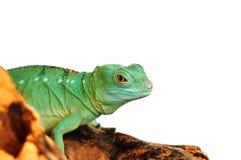 Зеленая ящерица агамы Стоковые Изображения