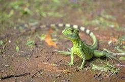 Зеленая ящерица василисков Стоковое Фото