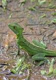 Зеленая ящерица василисков Стоковое Изображение RF
