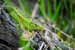Зеленая ящерица в естественных условиях стоковая фотография rf