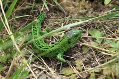 Зеленая ящерица в траве Стоковое Изображение
