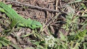 Зеленая ящерица в траве сток-видео