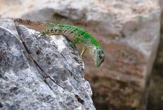 зеленая ящерица Мексика Стоковые Изображения RF