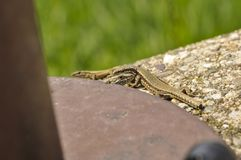 Зеленая ящерица на бетоне рядом со штендером металла Небольшая ящерица получая вспугнутый и отходя к своему тайнику r стоковые изображения