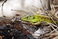 зеленая ящерица Стоковое Фото