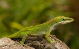 зеленая ящерица Стоковая Фотография RF