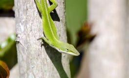 Зеленая ящерица Anole, Georgia США Стоковые Изображения RF