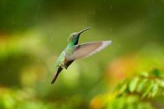 Зеленая-breasted муха манго, розовый цветок Одичалая троповая птица в среду обитания природы, живой природе, Коста-Рика Розовое ц стоковая фотография rf