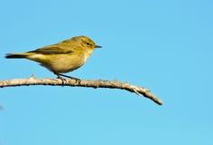 зеленоватый warbler Стоковые Фото