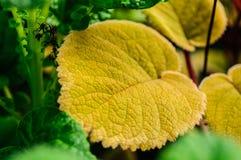 Зеленого цвета завода крытого завода лист гибридного волосатые Стоковые Фото