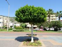 Зеленое дерево в полдень на юге стоковая фотография