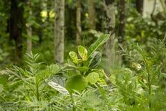 Зеленое дерево в сельских районах Бангладеша стоковые фото