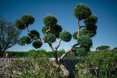 Зеленое дерево в apulia alberobello города Италии Trullis Стоковые Изображения