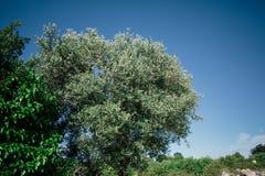 Зеленое дерево в apulia alberobello города Италии Trullis Стоковые Фото
