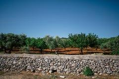 Зеленое дерево в apulia alberobello города Италии Trullis Стоковая Фотография