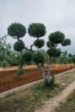 Зеленое дерево в apulia alberobello улиц города Италии Trullis Стоковое Изображение