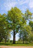 Зеленое дерево дуба Стоковое Изображение RF