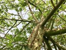 Зеленое дерево, завод chorizion с ветвями, с острыми большими опасными выпуклыми ужасными естественными шиповатыми терниями и тер стоковая фотография