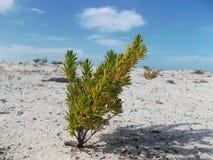 Зеленое дерево на пляже с белым песком, паразитное дерево стоковое фото rf