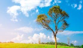 Зеленое дерево с красивой картиной ветвей на поле холма и зеленой травы с белыми цветками и голубым кумулюсом неба и белых Стоковое Изображение RF