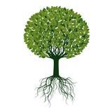 Зеленое дерево с листьями и корнями также вектор иллюстрации притяжки corel Стоковая Фотография
