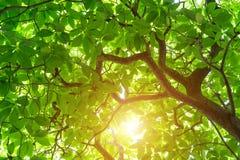 Зеленое дерево odorata Cananga тропическое дерево которое возникает внутри Стоковая Фотография