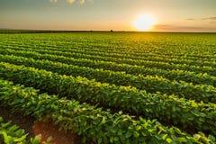 Зеленое зрея поле сои стоковые фотографии rf