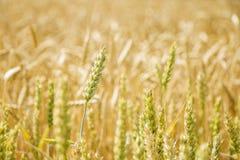 Зеленое и желтое пшеничное поле Стоковые Изображения RF
