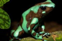 Зеленое и черное auratus 2 Dendrobates лягушки дротика отравы стоковые фотографии rf