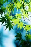 Зеленое листво клена стоковое фото rf