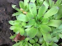 Зеленое молодое или каменное розовое Sempervivum Закройте вверх с естественной каменной предпосылкой стоковая фотография rf