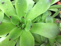 Зеленое молодое или каменное розовое Sempervivum Закройте вверх с естественной каменной предпосылкой стоковое изображение rf