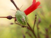зеленое насекомое стоковые фотографии rf