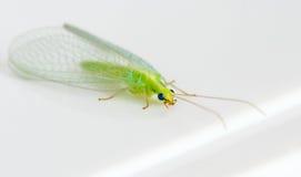 зеленое насекомое стоковая фотография