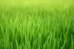 Зеленое осеменяя поле риса стоковые изображения rf