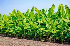 Зеленое поле банана, Индия стоковая фотография