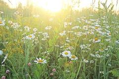 Зеленое поле белых camomiles и солнца Поле цветка лета Стоковое фото RF