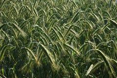 Зеленое поле в сельскохозяйственных угодьях стоковая фотография