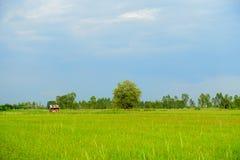 Зеленое поле ждать быть собранным стоковое фото