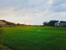 Зеленое поле и с золотой солнечностью стоковое изображение